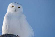 Snowy Owl WInter