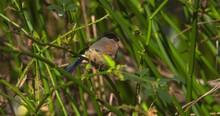 Bullfinch Female Bird In Tree Fluffing Feathers Flying Away Pyrrhula Pyrrhula