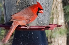 Red Cardinal Sitting On Bird Feeder With Woods In Back Profile
