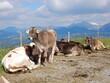 canvas print picture - Kühe auf der Alm