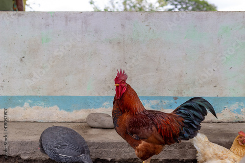 Canvas Print rooster in the farm