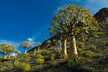 Quiver Tree (kokerboom) Forest In Spring, Western Cape, South Africa
