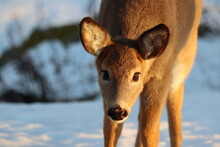 Closeup Of A Young Whitetail Doe In The Snow