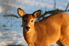 A Young Whitetail Doe Chews On Grass In Winter