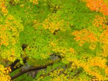 部分的に紅葉したカエデの木