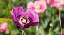 Bee On Purple Poppy Flower.