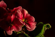 Isolated Illuminated Pink Flower Blossoms , Black Background, Copy Space For Text - Primrose, Primula Acaulis