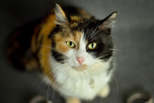 Beautiful Tricolored Cat Is Looking Into The Camera In The Studio