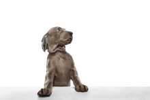 One Big Puppy Of Weimaraner Dog Posing Isolated Over White Background.