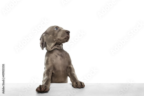 Fotografie, Tablou One big puppy of Weimaraner dog posing isolated over white background