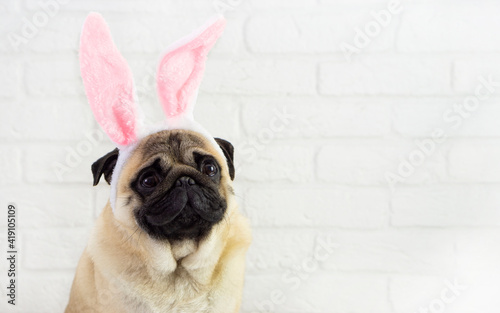 Fototapeta Attention smiling  pug  dog  with bunny ears  on white background  with space for text . Easter  concept . obraz