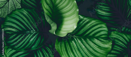Foto Pattern top view leaf layers of Calanthe orb folia plant or air purification trees in dark green tone
