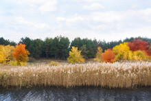 View Of Dry Reeds Growing On Lake Bank Near Pine Forest In Autumn