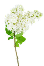 White Lilac Flowers Isolated On White Background