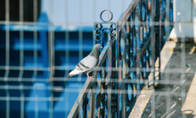 A Regular Pigeon Photographed Behind A Steel Fence.
