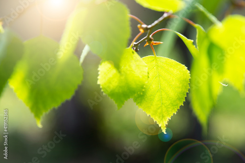 Bright green leaves of birch tree, sunny spring landscape, natural background Fototapet