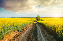 Yellow Canola Field And Blue Sky On Sunny Day. Location Rural Place Of Ukraine, Europe.