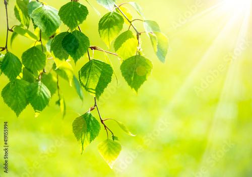 Fotografia Bright green leaves of birch tree, sunny spring landscape, natural background