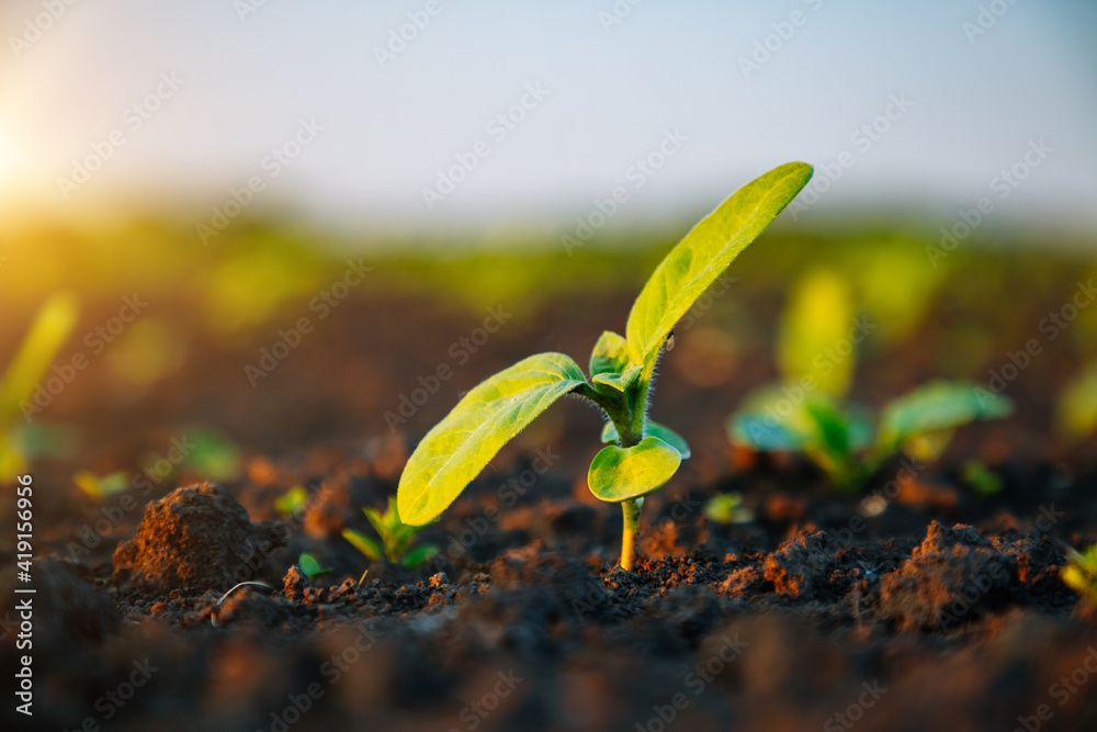 Fototapeta Young sunflower sprout growing out from soil in the sunny day.