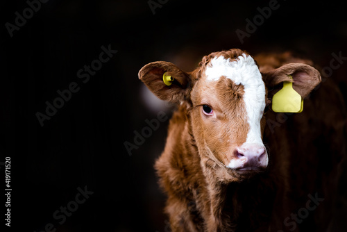 Canvas Portrait of a cow in a barn