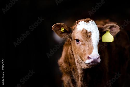 Wallpaper Mural Portrait of a cow in a barn