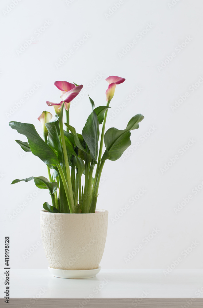 Fototapeta pink calla lily in flower pot on white background