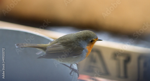 birdwatching, ornithology and environment - profile of a redbreast robin bird Wallpaper Mural