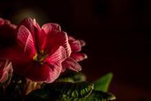 Isolated Illuminated Pink Flower Blossoms Of Primula, Black Background