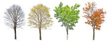Four Seasons Medium Maple Tree On White
