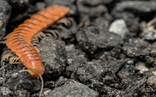 Canvas Closeup of one Red Brown Centipede