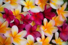USA, Hawaii, Maui, Kapalua Colorful Plumeria Fallen Blooms