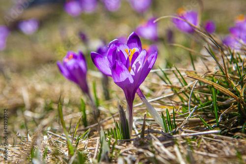 Krokusy, Dolina Chochołowska, Wiosna, Tatry