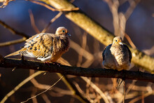 A Pair Of Mourning Doves (Zenaida Macroura) Perching On A Tree Branch. They Show Flirting Gestures And Mating Ritual With Puffy Feathers And Unique Dance Moves. They Fluff Their Feathers For Warmth