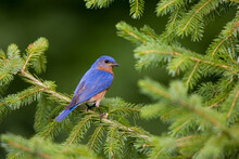 Eastern Bluebird (Sialia Sialis) Male In Serbian Spruce (Picea Omorika). Marion, Illinois, USA.