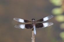 Widow Skimmer (Libellula Luctuosa) Male, Ballard Nature Center, Effingham, Illinois, USA.