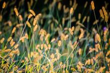Backlit Grass Seedhead