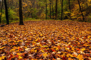 autumn leaves covered forest floor in Western Maryland
