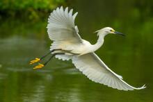 USA, Louisiana, Jefferson Island. Snowy Egret In Flight Over Lake.