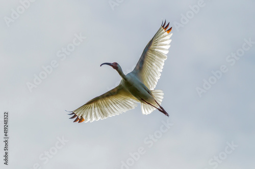 фотография USA, Louisiana, Miller's Lake. White ibis in flight.