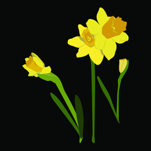 Blooming Yellow Narcissus, Daffodils, Vector Illustration, On A Black Background (easy To Swap)