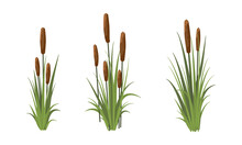 Scirpus. Reed Thickets. Coastal Aquatic Vegetation. Plants Of Meadows And Shores Of Lakes, Rivers And Swamps. Realistic Vector Landscape