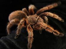 Bird Spider, Grammostola Rosea