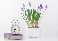White Alarm Clock, Old Book, Flower Pot With Grape Hyacinths On The Table. White Scandinavian Iterior Design.