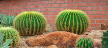 Echinocactus Grusonii Or Golden Buckets,The Trunk Is Green, Somewhat Rounded, The Top Part Is Concave, Resembling The Mouth Of A Bucket, With A Large White Frost Around The Trunk.