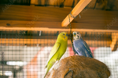 Cute blue and yellow parakeet in the huge cage Fototapete