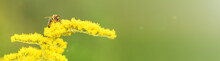Bee And Flower. Banner. Close Up Of A Large Striped Bee Collecting Pollen On A Yellow Flower Solidago (goldenrod Common) On A Sunny Bright Day. Macro Photography. Summer And Spring Backgrounds
