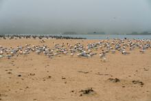 Flock Of Least Tern Birds On The Beach, California Coastline