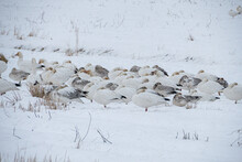 A Huge Flock Of Snow Geese Resting On The Snow Covered Open Field During The Snow In The Park