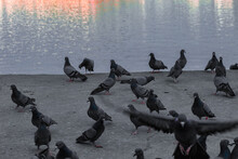 Pigeons On The River