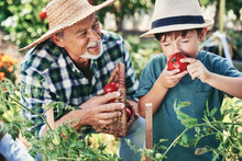 Boy Smelling A Freshly Picked Tomato From The Bush
